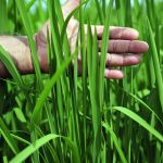 Rice near Villavicencio, on the border of Colombia's eastern plains, or Llanos.